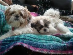 Lily and Chloe - another Schitzu named Lilly =)