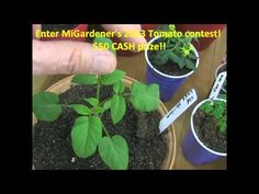 Prune Pepper plants for HUGE yields! - YouTube