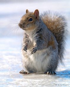 Eastern gray squirrel / Ecureuil gris