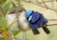 Bird huddles,Superb Fairy-Wren