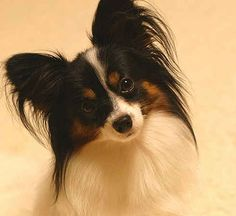 This is a Papillon.