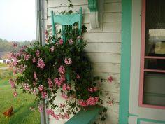 pretty pink ivy geranium
