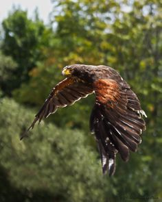 With my long lens out of commission in the shop, I decided to go through my massive collection of past photos. All Birds, Birds Of Prey, Hawk Wings, Harris Hawk, Eagle Pictures, Colourful Birds, Flying Flowers, Animal Anatomy, Golden Eagle