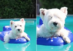 What else is there to do on Australia Day says Pepper The Westie... #PepperTheWestie www.facebook.com/PepperTheWestie www.pepperthewestie.com.au