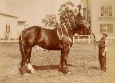 1910 Sociedad Rural Argentina. Primer premio (Rom Blossom, lote 690) Haras Jorge Bell