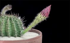 echinopsis-cactus-flowers-blossom-time-lapse-greg-krehel - Cris Figueired♥