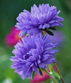 blooms-and-shrooms: purple asters by SvitakovaEva