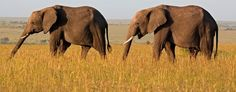 African elephants (Getty Images)