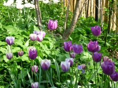 Purple tulips in various shades