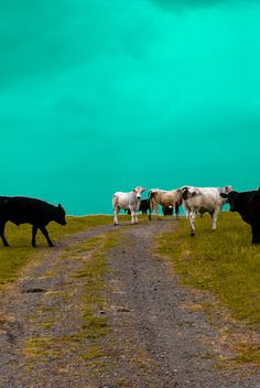 country cows....