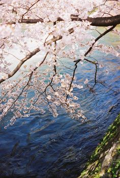Cherry blossoms in the spring.