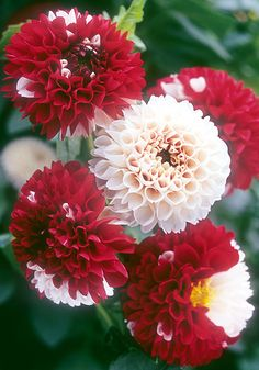 Dahlia 'York and Lancaster' circa 1915 - The origins of this heirloom Dahlia are a mystery but it is outstanding. No two flowers are the same, some open white, some red but most are a mix.