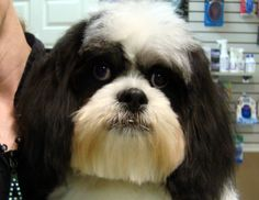 Not a shih tzu!! Lhasa Apso!!!!!  This makes me miss ModorJoe! :)