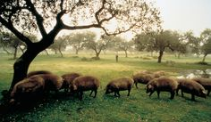 iberico pigs grazing in the Spanish dehasa Spanish Tapas, Brown Bear, Livestock, Black Pigs, Elephant, Adventure, Terra, Animals, Concept