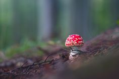 Amanita muscaria - amanita muscaia in the autumn forest