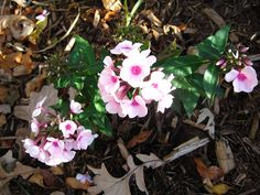 Phlox blooming into Autumn...