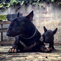 get BULL Terrier free stickers Black Bull Terrier, Chien Bull Terrier, British Bull Terrier, Mini Bull Terriers, Miniature Bull Terrier, English Bull Terriers, Best Dog Breeds, Best Dogs, I Love Dogs