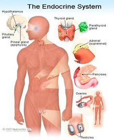 Endocrine System and Lymphatic/ immune system The Endocrine system consist of glands and hormones that regulate the body. The main parts of the system are the pituitary gland, thyroid, parathyroid,. Adrenal Glands, Thyroid Gland, Adrenal Fatigue, Thyroid Disease, Sleep Apnea Remedies, Snoring Remedies, Adrenal Health, Women's Health, Craniosacral Therapy