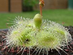 Drosera Burmannii, by Azais Cedric Napp. The tropical sundew is a small, compact species in the carnivorous plant genus Drosera. It is one of the fastest trapping sundews as well, and its leaves can curl around an insect in only a few seconds, compared to the minutes or hours it takes other sundews to surround their prey.