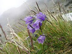 Alpine Bellflower (Campanula alpina Jacq.). Altitude approx. 2000 m, Slovakia