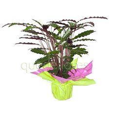 Cuna de moises planta de sombra riego 3 veces por semana - Cuidado de plantas de interior ...