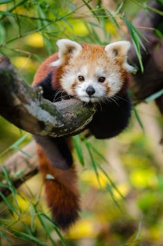 "funkysafari: "" Red panda by Mathias Appel """
