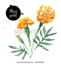 stock-photo-hand-drawn-watercolor-marigold-flower-illustration-painted-sketch-botanical-herbs-isolated-on-558181384.jpg (450×470)