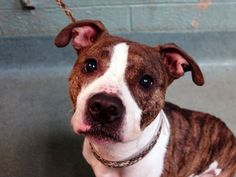 TO BE DESTROYED - 10/19/14 Brooklyn Center *** NEW PHOTO***  My name is SAVANNAH. My Animal ID # is A1017453. I am a female br brindle and white pit bull mix. The shelter thinks I am about 1 YEAR  I came in the shelter as a OWNER SUR on 10/14/2014 from NY 11220, owner surrender reason stated was NO TIME. https://www.facebook.com/Urgentdeathrowdogs/photos/a.611290788883804.1073741851.152876678058553/890001271012753/?type=3&theater
