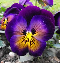 "Pansy - The specific colors of the flower – purple, yellow, and white – are meant to symbolize memories, loving thoughts and souvenirs, respectively. It represents thoughts of lovers before a word is spoken. Because its name means ""thought,"" the pansy was chosen as a symbol of 'Freethought,' been used in the literature of the' American Secular Union,' 'Humanists' and The Freedom From Religion Foundation. The flower has long been associated with human manner."