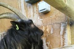 #goatvet says this goat was the ghost responsible for turning on the lights in north Wales, UK.