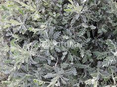Planta aromáticas.#fotolia #fotografia #photography #photo #foto #microstock #buy