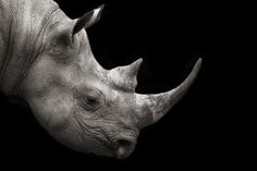 [Black Rhinoceros: ** This is the type of rhino near extinction that Prince William murdered when he and his  wifey went with intent to Africa for Willie to big game hunt. I saw their photo on Twitter of them and the fallen body of the slain rhino crumpled on the bloody earth. Wee William Coward never got out of the open jeep he rode to the plain for 'sport'. Now he's PROMOTING Trophy Hunting!  Previously, he had been  pictured feeding baby rhino's  in a sanctuary. BIGOT!