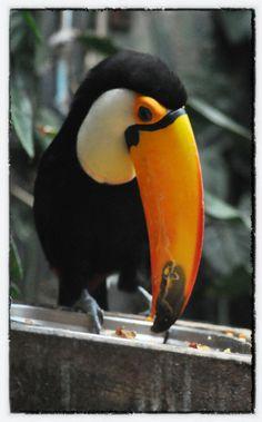 Toucan Tuesday