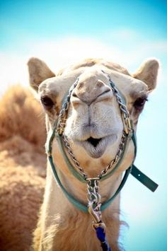 "Camels in Cabo San Lucas?! Yes, says ""Pecos"" the camel."