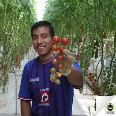 Check out these #FairTrade organic cherry tomatoes! See how choosing Wholesum Harvest produce impacts the lives of people like Gabriel in Mexican farming communities: http://fairtradeusa.org/blog/power-fair-trade-produce-workers-mexico-invest-their-communities