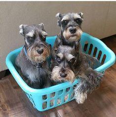 A basket full of love! Miniature Schnauzer Puppies, Schnauzer Puppy, Cute Puppies, Cute Dogs, Dogs And Puppies, Animals And Pets, Cute Animals, Dog Best Friend, Dog Lady