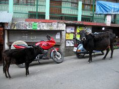 Cows, motorbikes...an every day sight.--Usually also in the scene...donkeys, dogs, goats, etc Copyright Tammy Winand