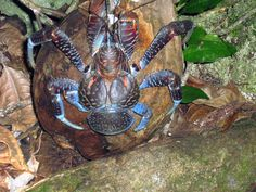 Le crabe de Cocotier.