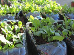 A horta biológica é um projeto criado no Colégio de Alfragide tendo em vista a integração do programa Eco-Escolas.  Todas as semanas, as nossas alunas e os nossos alunos vão cuidar e mimar as plantas e legumes da nossa horta.  #colegiodealfragide #amadora #portugal #hortabiologica