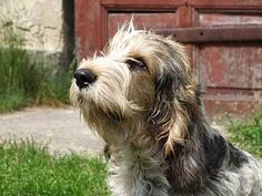 The Grand Basset Griffon Vendéens a long-backed, short legged hunting breed of dog of the hound type. Hypoallergenic: No. Unique Dog Breeds, Hunting, 15 Years, Dogs, France, Type, Image, Animales, 15 Anos