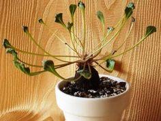 CAUDICIFORM Othonna hederifolia