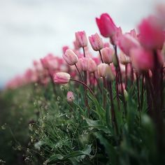 A row of pink Tulips, in the rain by danielle hughson