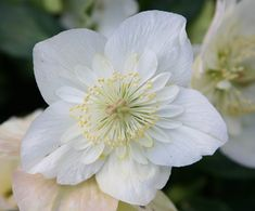 Buy Christmas rose hellebore Helleborus niger 'Harvington hybrids double-flowered': Delivery by Crocus.co.uk
