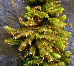 Fan Pocket Moss aka Fissidens dubius