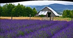 The weather in Sequim (skwim) is perfect for growing lavender - it's the lavender capital of North America. Description from pinterest.com. I searched for this on bing.com/images