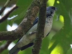 Los Tarrales, Guatemala, The rare Azure-rumped Tanager can be seen in the reserve
