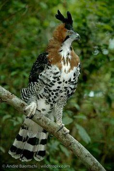 Águila crestuda real o águila azor blanca (Spizaetus ornatus). Es un ave de la familia Accipitridae que vive en climastropicales húmedos desde el sur de México y Trinidad y Tobago, hasta el sur dePerúy Argentina. Mide de 60 a 70 cm y pesa alrededor de 1,6kg.