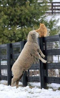 羊の頭を撫でて褒めてあげる猫