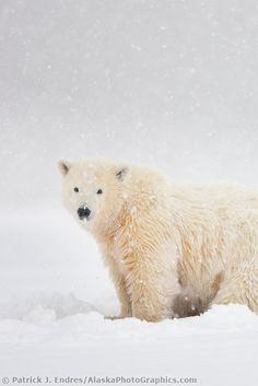Polar bear cub of the year in falling snow - Arctic, Alaska