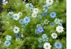 2,200 Love in a mist seeds